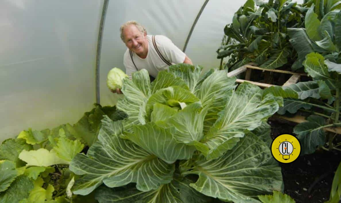 giant cabbage, biggest cabbage in the world