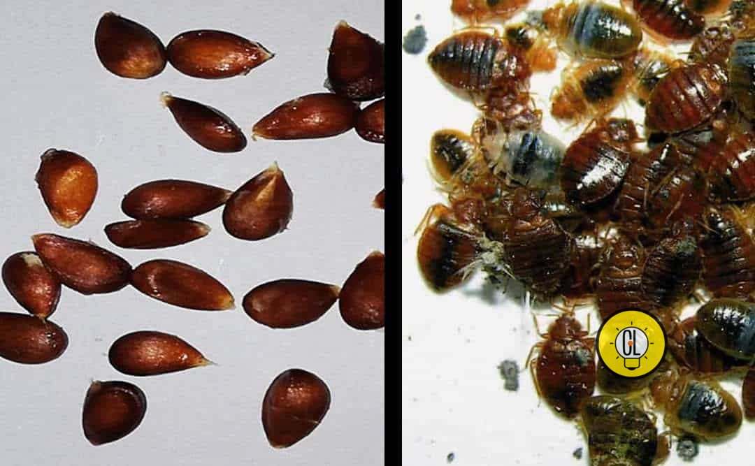 bedbugs get rid of them permanently
