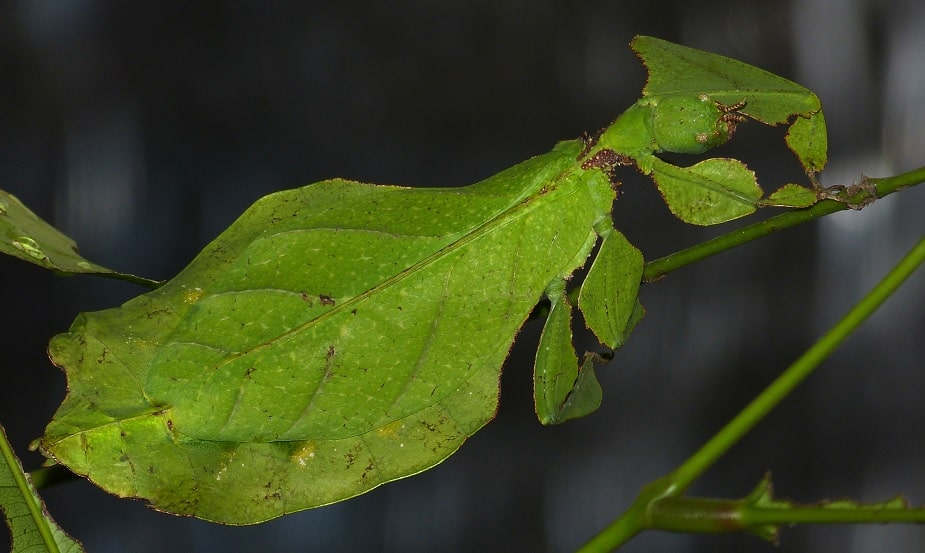 leaf insect best camouflage