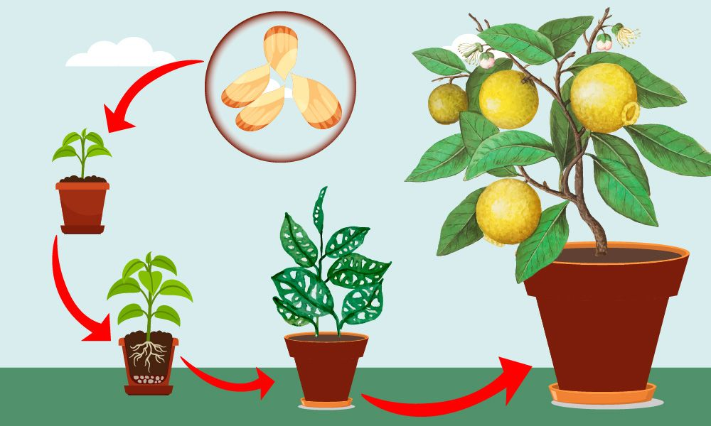 grow lemon tree from seed at home