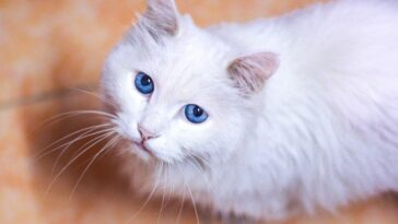 white cats with blue eyes hearing loss